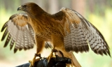 Falconry Ireland. Wicklow